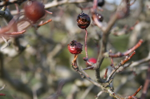 Berries_boxing_day